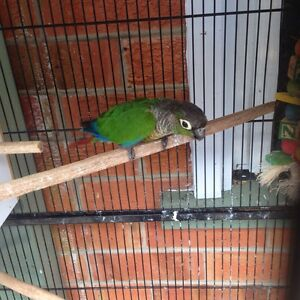Two avery green cheek conures Inala Brisbane South West Preview