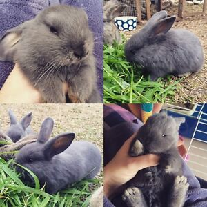 6 week old Baby girl Mini Lop/ Dwarf bunny rabbit Chipping Norton Liverpool Area Preview