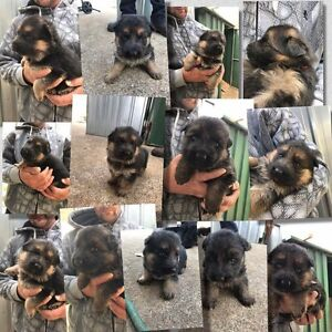 Stunning Pedigree German Shepherd Puppies Bargo Wollondilly Area Preview