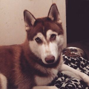 Wanting a female husky! Mount Gravatt Brisbane South East Preview