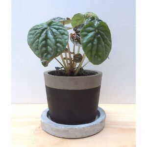 NEW Concrete Pot & Saucer w/ Healthy Pink Lady Peperomia Indoor Plant North Melbourne Melbourne City Preview