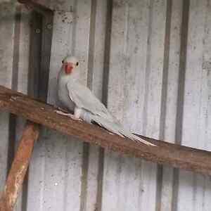 Indian ringneck parrots Dubbo Dubbo Area Preview