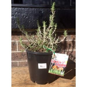 Large Healthy Established Rosemary Herb Plant in Black Pot RRP $18 North Melbourne Melbourne City Preview