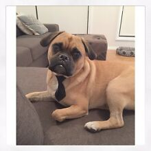 1.5 Year Old Male Pugalier For Sale Avondale Heights Moonee Valley Preview