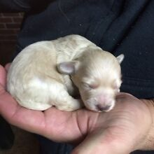 Beautiful Moodle puppies (1/4 Maltese 3/4 Toy poodle) Thornton Maitland Area Preview