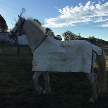 Grey pony gelding Appin Wollondilly Area Preview