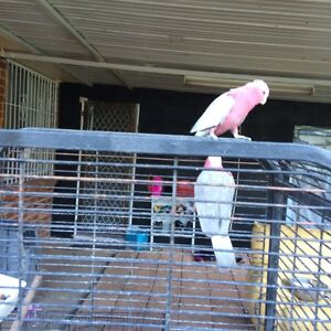 Galah for sale Edensor Park Fairfield Area Preview