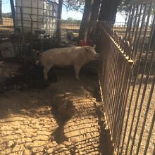 2 Sow's 1 Boar Bargo Wollondilly Area Preview