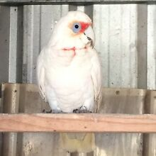 Long beak corella tame Campbelltown Campbelltown Area Preview