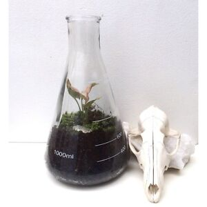 SALE - NEW Science Glass Conical Flask Terrarium Healthy Plant & Moss North Melbourne Melbourne City Preview