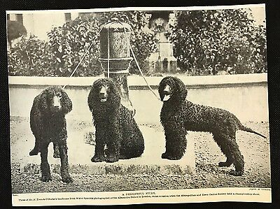 1934 Dog Print / Bookplate - IRISH WATER SPANIEL, Mr F. Trench O'Rourke's 3 dogs