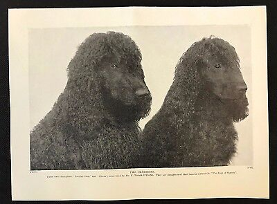"1934 Dog Print / Bookplate - IRISH WATER SPANIELS, ""Breifny Gem"" & ""Gloria"""