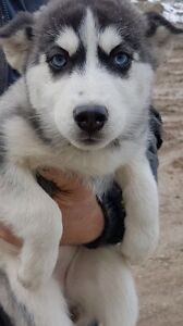 Siberian Huskie Puppies