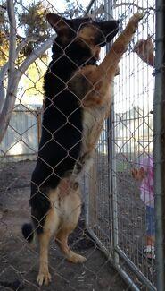 German Shepherd Male Loddon Area Preview