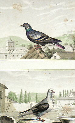 Buffon Pigeon Bise Tie Vat Birds original engraving 19e
