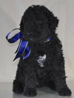 Labradoodle, Healthy, ready very soon, non shed