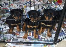 ROTTWEILER PUPPIES PEDIGREE PAPERS READY NOW FOREVER HOMES Greenbank Logan Area Preview