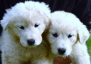 Maremma puppies - purebred males, registered breeder Sydney City Inner Sydney Preview