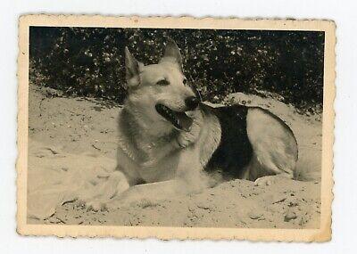 Photo snapshot 1960  dog / chien un berger allemand sur la plage