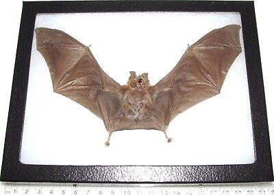 Rhinolophus affinus REAL PRESERVED BAT WINGS SPREAD TAXIDERMY 8IN X 6IN FRAME