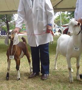 Anglo Nubian Buck Kid Purebred Toodyay Toodyay Area Preview