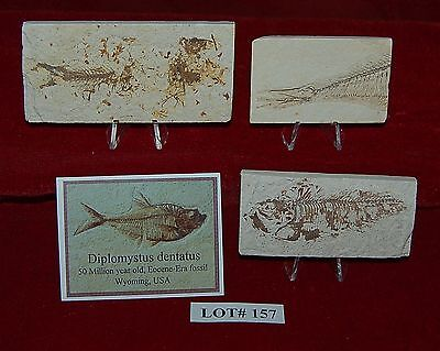 Fossil Fish DIPLOMYSTUS 50 Million Year Old 3 Plaques+Stands+ID Card Lot#157