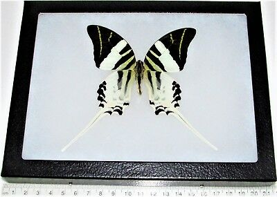 REAL FRAMED BUTTERFLY BLACK WHITE SWORDTAIL PAPILIO ANDROCLES 8IN X 6IN FRAME! ()