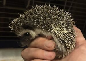 *~*~* BABY HEDGEHOGS ONLY 2 LEFT!! *~*~*