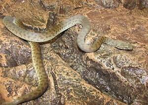 Children's Pythons – Yearling Direk Salisbury Area Preview
