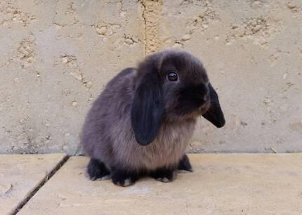 Baby Mini Lop Rabbit - Purebred, vaccinated, siamese sable girl