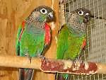 breeding pair of pearly conures Strathfield Strathfield Area Preview