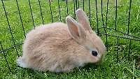 2 Mini Lops X Chinchilla 7 week old Rabbits for Sale Carrum Downs Frankston Area Preview