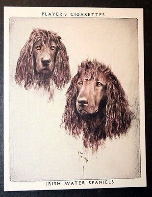 Irish Water Spaniel     Vintage 1950's Portrait Card  ## VGC