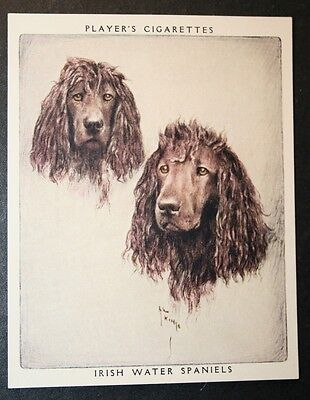 Irish Water Spaniel     Vintage 1950's Portrait Card  # EXC