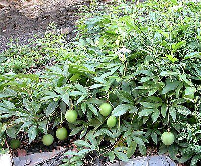 Maypop Purple Passion Flower Plant 4  Pot  Passiflora Incarnata  Gift Holiday