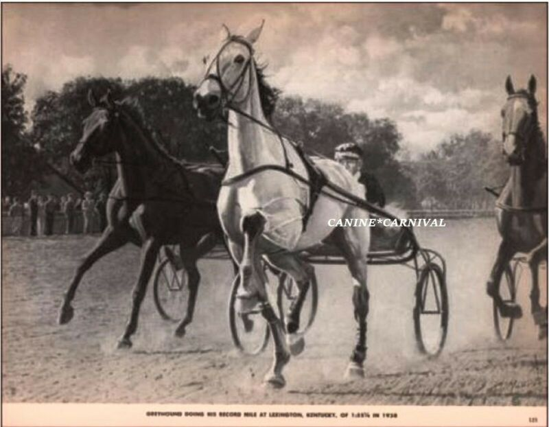 GREYHOUND Famous Harness Horse Doing Record Mile  Lexington VINTAGE  PRINT 1952