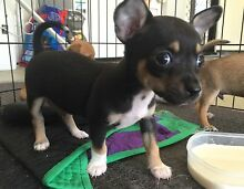 Chihuahua puppy for sale Laidley Lockyer Valley Preview