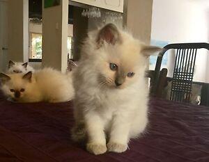 Ragdoll kittens purebred Thornlie Gosnells Area Preview