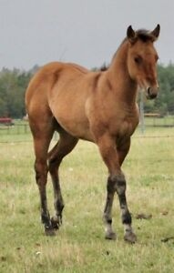 QUARTERHORSE FILLY FOR SALE