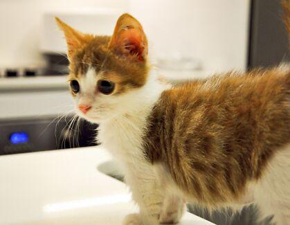 Munchkin kitten!!!