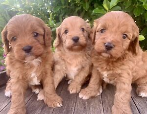 CAVOODLE PUPPIES - 1st Gen - 3 YEAR HEALTH GUARANTEE