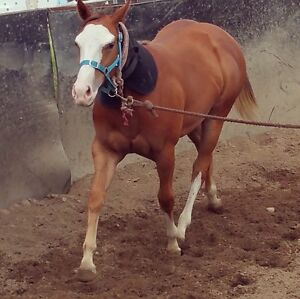 Paint bred filly Wyee Point Lake Macquarie Area Preview