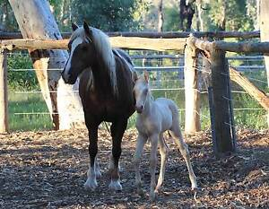 Welsh Cob D Superb brood mare with foal $3800 for the pair Stoneville Mundaring Area Preview