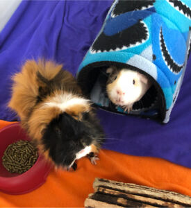 2 Guinea Pigs, Cage and accessories
