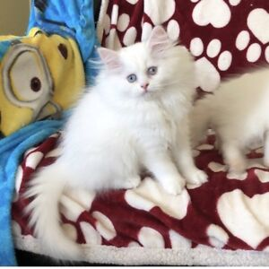 Registered white and a cream lynx Himalayan/Persian kittens