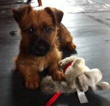 Australian Terrier pups ready to go! Can send to MEL, SYD & BNE Gladstone Dorset Area Preview