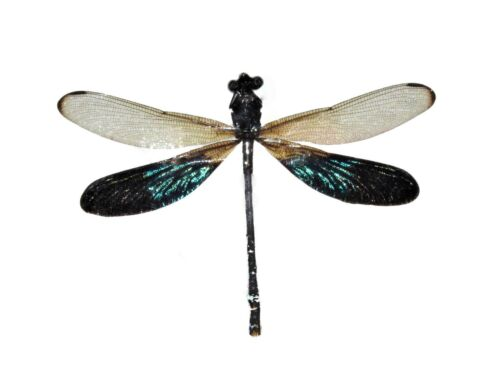 ONE GREEN CLEAR DRAGONFLY DAMSELFLY RHINOCYPHA ANISOPTERA MOUNTED PACKAGED