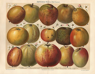 Apfelsorten Apfel Äpfel Kaiser Alexander Bohnapfel  Lithographie um 1900