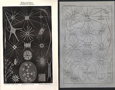 Süßwasserflora Schwebe Algen  Süßwasser Lithographie  1909 Plankton Schwebealgen