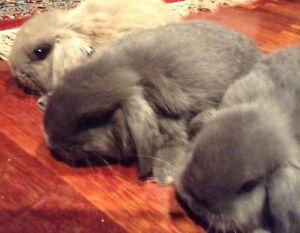 Dwarf lop rabbits, pure bred Kensington Melbourne City Preview